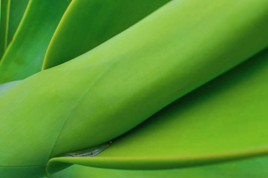 Dew gathered on an Agave attenuata. Taken in Madeira.