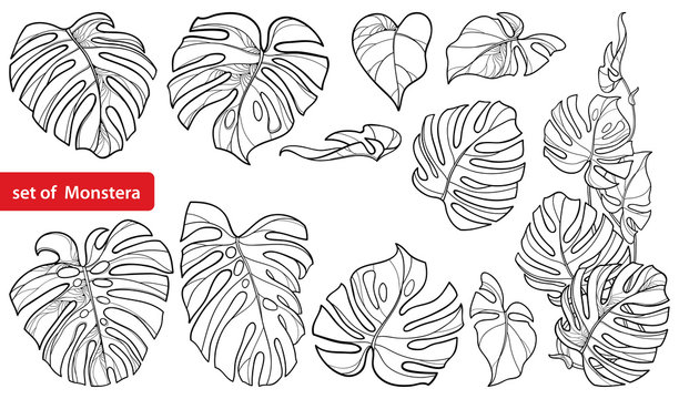 Set with outline tropical Monstera or Swiss cheese plant leaf bunch in black isolated on white background.