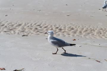 Möwe stolziert zielstrebig über den Sandstrand