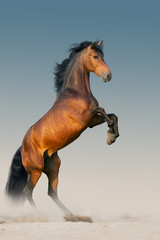 Wall Mural - Bay stallion with long mane rearing up