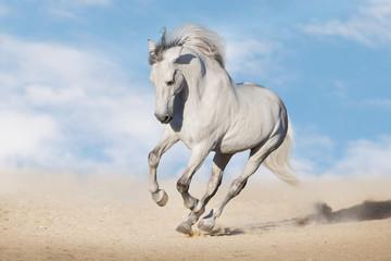 Wall Mural - White horserun gallop  in desert dust against beautiful sky