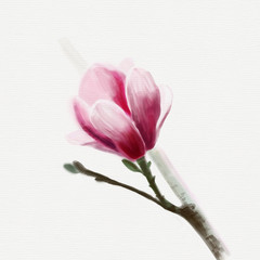 Color drawing of a branch of magnolia with flowers, buds and leaves.  isolated on background.