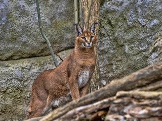 Portrait of sitting Jungle cat, Felis chaus