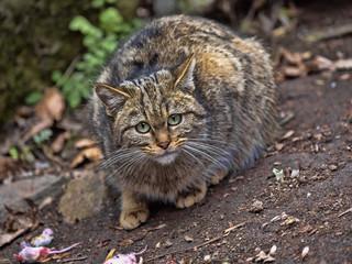 European wild cat, Felis s. Silvestris, watching around