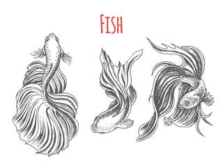 Hand drawn vector sketch Betta splendens, Fantail Goldfish. Tattoo aquarium fish.
