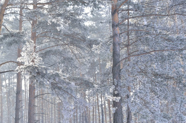 Sunny frosty morning in a pine forest. Winter. Pine needles are covered with white frost. Morning mist softens the light of the sun.