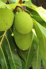 breadfruit hanging on the tree with nature