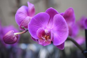 Orchidee Phalaenopsis Schmetterlingsorchidee Orchids Nachtfalterorchidee Orchidaceae Zimmerpflanze Blüte violett lila