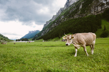 Eine Kuh in einer Berglandschaft
