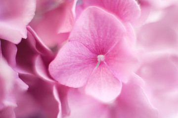 Fotomurales - Beautiful hydrangea background and pattern. Pink flowers are blooming in spring and summer.