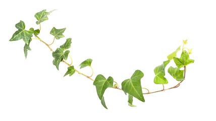 ivy leaves isolated on a white background Wall mural