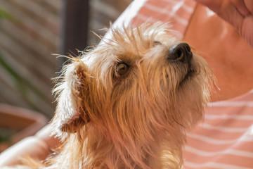 Schoßhund mit Hundeblick