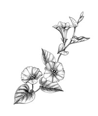 Hand Drawn Bindweed Branch
