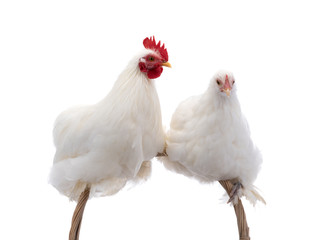 male and female white rooster isolated
