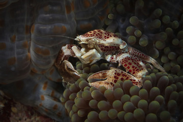 Porcelain crab (Neopetrolisthes maculatus). Picture was taken in Ambon, Indonesia