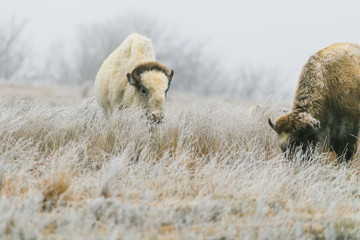 Aluminium Prints Bison A rare white bison with its heard in Lake Scott State Park grazes on grass in the winter of 2019