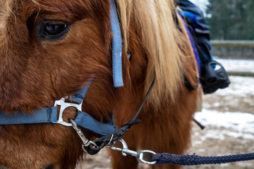 Small horse, a pony in a bridle and with a sad look, rolls children.