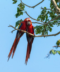Two scarlet macaws indulge in mutual grooming while perched high in a tree