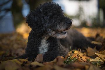 Ein schwarzer Pudel ohne Frisur im Herbstlaub
