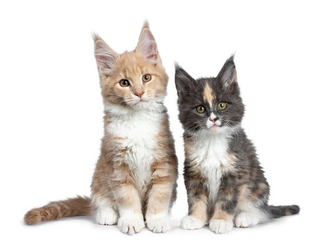 Two cute Maine Coon cat kittens sitting beside each other looking beside lens. Isolated on white background.