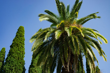 date palm in the Park in summer