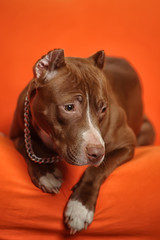 beautiful brown pit bull terrier with a chain around his neck on an orange background