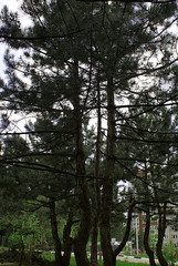 Coniferous plants in the forest and park in spring.