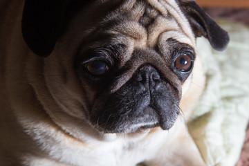 serious pug dog portrait