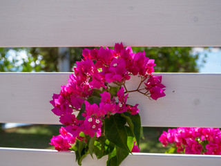 Beautiful pink flowers growing through white wood fence