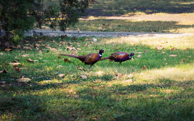 Two beautiful Pheasant birds in the park