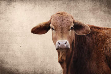 Wall Mural - Brahma crossbred heifer calf looking at camera with rustic background.  Copy space for agriculture beef industry concept.