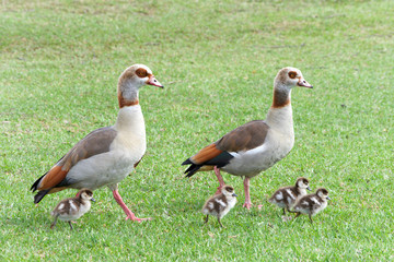 Egyptian geese walking with Goslings in green grass. Egyptian geese were considered sacred by the Ancient Egyptians, and appeared in much of their artwork.
