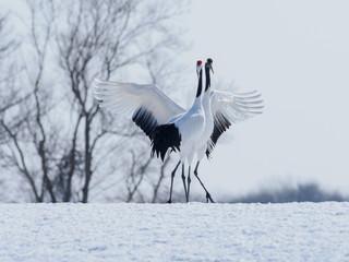 雪の中、鳴きあう美しい丹頂