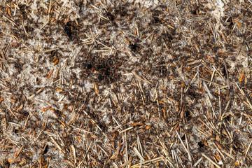 Colonia de hormigas rojas. Hormiguero.