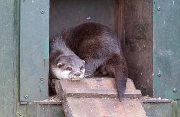 Otter is leaving it's nest