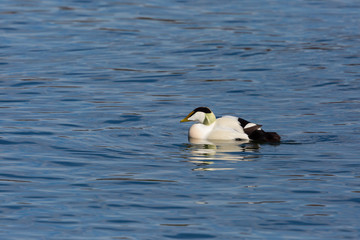 male eider duck (somateria mollissima) swimming in blue sea