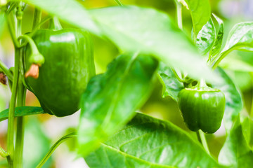 Green Peppers with Leaves
