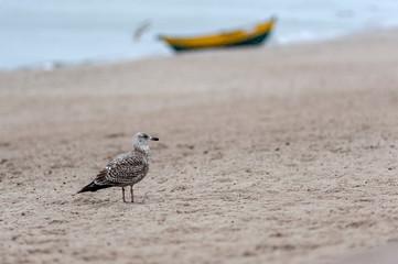 samotna mewa srebrzysta na plaży nieopodal łodzi rybackiej