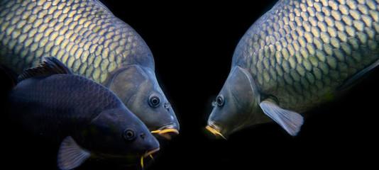 carps fish - Cyprinus carpio close up in the detail