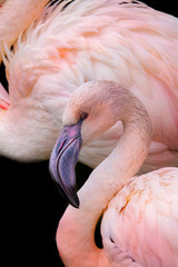 pink flamingo close up in the detail