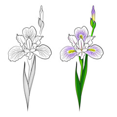 Contour and color image  of  iris flower