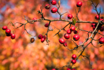 Red rosehips growing on a rose hip bush. Shallow depth of field. Blurred natural background