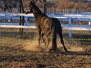 black horse playing game dust in motion