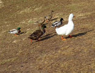 A close view of the colorful ducks in the green grass.