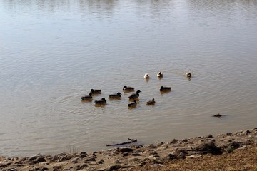 A group of ducks in the shallow water of the lake.