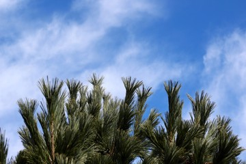 The top of the pine tree and the clouds and blue sky.
