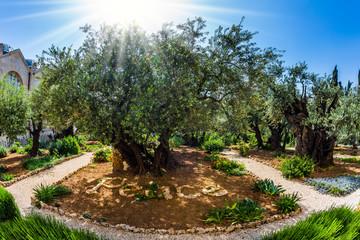 Millennial olives grow on sandstone