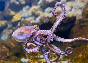 Close-up view of a Common Octopus (Octopus vulgaris)