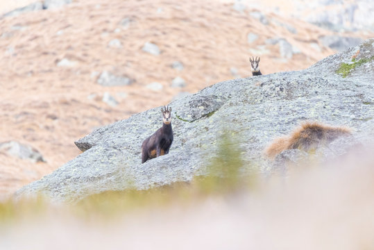 Mother chamois and her son, Orco valley, Gran Paradiso National Park, Piedmont, province of Turin, Italian alps, Italy