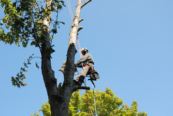 Cutting a tree, tree climber is working outdoor with a saw